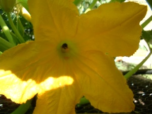 Bee in squash blossom